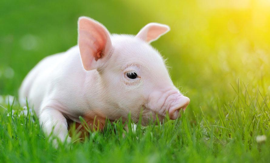 Schweinische Witze