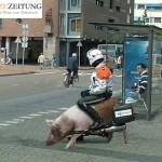 Schweinestärke