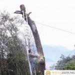 Baum fällen mit Leiter