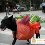 Transporthund